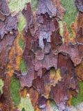 Fuktigt trädskäll av en platan royaltyfri fotografi