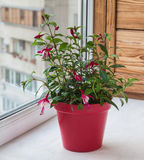 Fuktsia in rode pot op het balkon royalty-vrije stock foto
