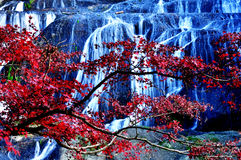 Fukuroda Waterfall Japan. Fukuroda waterfall hidden behind red maple tree during autumn koyo season in Japan