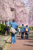 FUKUSHIMA, JAPAN - APR 16,2016: Camera man take a photo Weeping. Cherry on the Nicchu Line approximately 1,000 weeping cherry blossom trees grow and thrive.( Stock Image