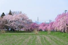 FUKUSHIMA, JAPAN - APR 16,2016: Weeping Cherry on the Nicchu Lin Stock Photos