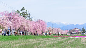 FUKUSHIMA, JAPAN - APR 16,2016: Weeping Cherry on the Nicchu Lin. E approximately 1,000 weeping cherry blossom trees grow and thrive.(Kitakata-city Royalty Free Stock Photography