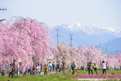 FUKUSHIMA, JAPAN - APR 16,2016: Weeping Cherry on the Nicchu Lin. E approximately 1,000 weeping cherry blossom trees grow and thrive.(Kitakata-city Stock Photos
