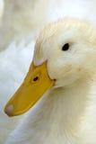 ful duckling Arkivfoton