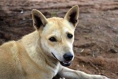 Ful scae-vänd mot hund Arkivbilder
