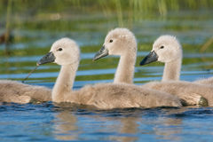 fula ducklings royaltyfri fotografi