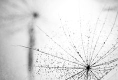 Fulff detail. Fulff of dandelion seed and water drops detail in black and white Stock Images