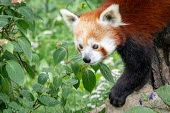 Fulgens d'Ailurus de panda rouge sur l'arbre Image libre de droits