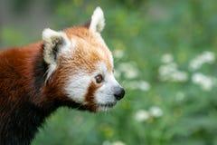 Fulgens d'Ailurus de panda rouge sur l'arbre Photographie stock