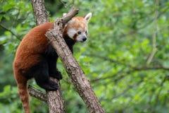 Fulgens d'Ailurus de panda rouge sur l'arbre Photographie stock libre de droits