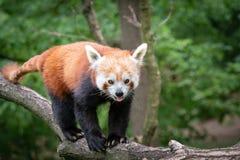 Fulgens d'Ailurus de panda rouge sur l'arbre Images stock