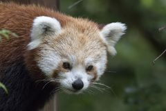 Fulgens d'Ailurus, ours panda rouge posant le plein visage Photographie stock