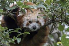 Fulgens d'Ailurus, ours panda rouge posant le plein visage Photographie stock libre de droits