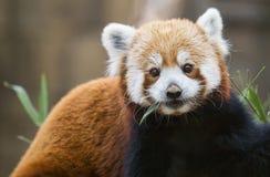 Fulgens del Ailurus de la panda roja Imágenes de archivo libres de regalías
