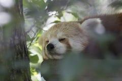 Fulgens del Ailurus, oso de panda roja que presenta la cara llena Imagen de archivo libre de regalías