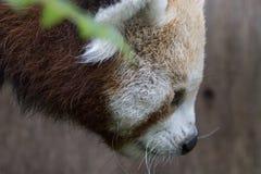 Fulgens do Ailurus, urso de panda vermelha que levanta a cara completa fotos de stock