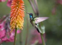 Fulgens magníficos de Eugenes del colibrí Fotos de archivo