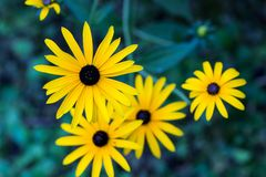 Fulgida de olhos pretos do Rudbeckia de Susan no final do jardim do verão e foto de stock