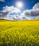 Fulgor do Canola Fotografia de Stock Royalty Free