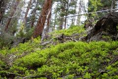 Fulgor pequeno da esperança em Rocky Mountain National Park imagens de stock