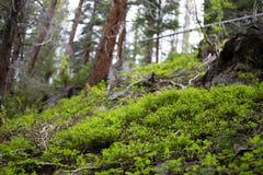Fulgor pequeno da esperança em Rocky Mountain National Park imagem de stock royalty free