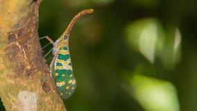 Fulgorid臭虫在森林昆虫学研究中心第3 图库摄影