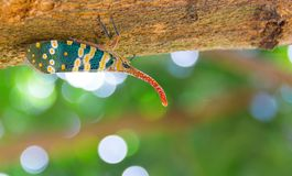 Fulgorid bug or Pyrops candelaria on Longan tree. Stock Photography