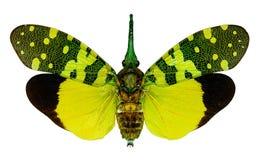 Fulgorid planthopper Pyrops viridirostris from Thailand Royalty Free Stock Photography