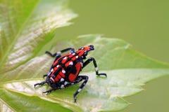 Fulgoroidea-Insekten Stockfoto