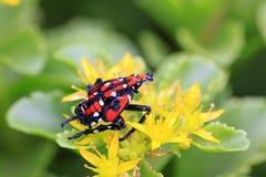 Fulgoroidea-Insekten Stockbild