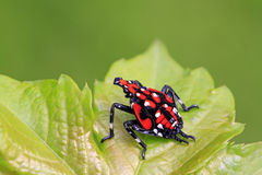 Fulgoroidea-Insekten Stockfotografie