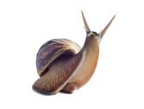 Fulica africano aislado de Achatina del caracol en un fondo blanco Imagenes de archivo