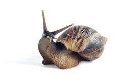 Fulica aislado de Achatina del caracol en un fondo blanco Imágenes de archivo libres de regalías