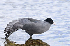 Fulica atra, common coot Royalty Free Stock Photography