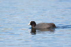 Fulica atra. Or Common Coot swimming on a lake, Estonia Royalty Free Stock Images