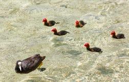 Fulica atra pospolity coot z potomstwami przy Jeziornym Constance, wyspa Mainau zdjęcia stock