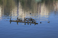 Fulica atra's on the river Stock Image