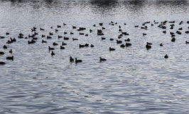 Fulica atra's on the river Royalty Free Stock Images