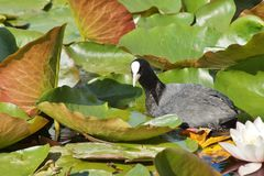 Fulica atra on water surface Royalty Free Stock Photography