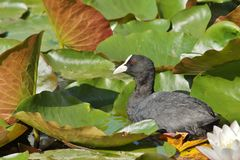 Fulica atra on water surface Royalty Free Stock Images