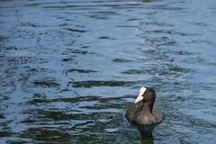 Fulica Coot Royalty Free Stock Photo