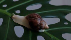 Fulica de Achatina - un caracol grande se arrastra lentamente sobre la planta en una hoja verde con los agujeros almacen de video