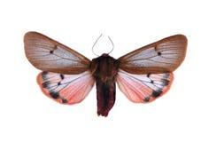 Fuliginosataurica van Phragmatobia Stock Afbeeldingen