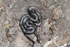 Fuliginosus africain de Lamprophis de serpent de maison image libre de droits