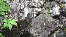 Fuliginosus Plumbeous de Phoenicurus d'oiseau de Redstart de l'eau été perché sur la roche en pierre au parc national de gorge de clips vidéos