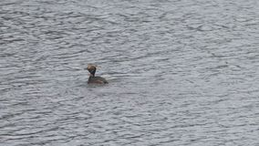 Fuligula tufté d'Aythya de canard dans le lac, les flotteurs d'oiseau sur l'eau et piqués dans l'eau banque de vidéos