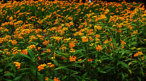 full ängyellow för blommor Royaltyfri Foto