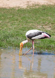 Full adult Asian Openbill stork finding the food Stock Photography