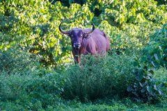 Full adult Male Banteng (Bos javanicus) Royalty Free Stock Photography