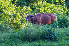 Full adult Male Banteng Stock Photography